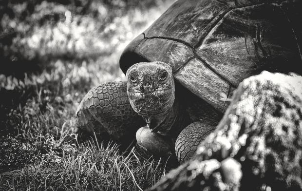 giant-tortoise-3782239_1920